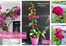 ФОЈА препорака-Bougainvillea – познатата медитеранска ползавица-вистински украс за секоја градина
