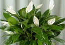 Женска среќа: Цвеќе кое носи здравје и љубов во домот
